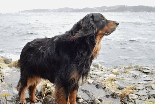 Sporting dog Gordon setter Setter #134334