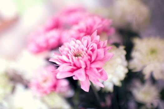 Pink Flower Flowers #13440