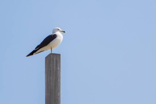Gull Coastal diving bird Bird Free Photo