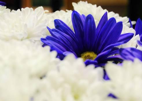 Flower Blue Violet Free Photo