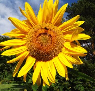 Sunflower Flower Yellow #134791