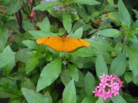 Orange Maple Butterfly Free Photo