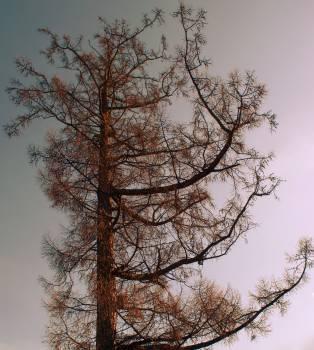 Snow Pine Tree #135940