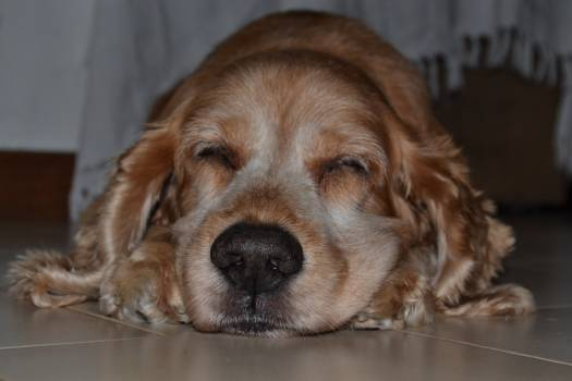 Cocker spaniel Spaniel Sporting dog Free Photo