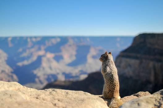 Viverrine Meerkat Mongoose #13603