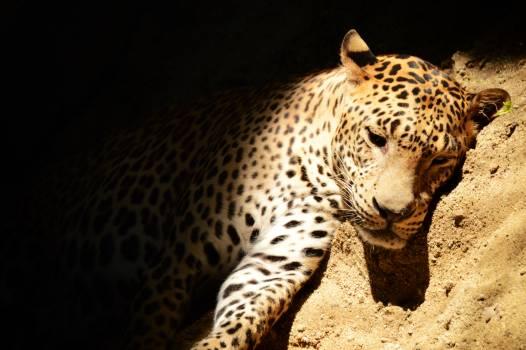 Leopard Fur Feline #136056