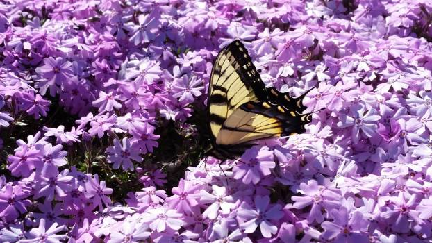 Butterfly Admiral Nymphalid Free Photo
