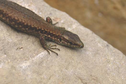 Alligator lizard Lizard Reptile #136715