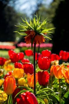 Flower Orange Tulip #136767