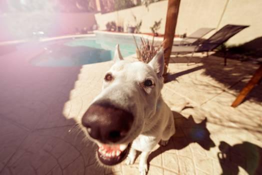 Dog Ibizan hound Hound #13685