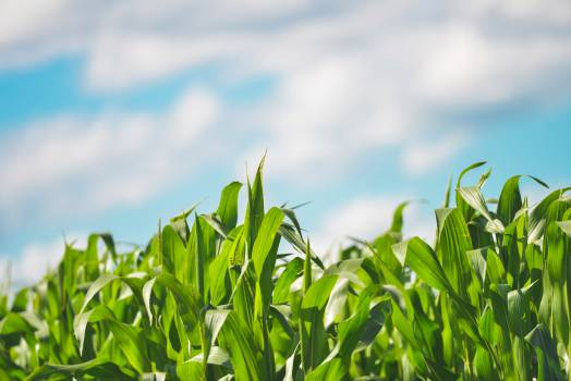Field Wheat Grass #13763