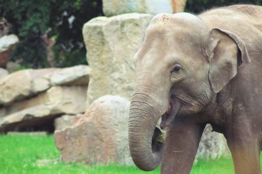 Elephant Mammal Proboscidean #13766