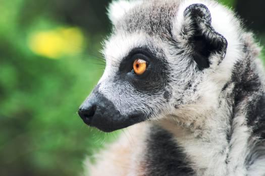 Lemur Madagascar cat Primate #13767