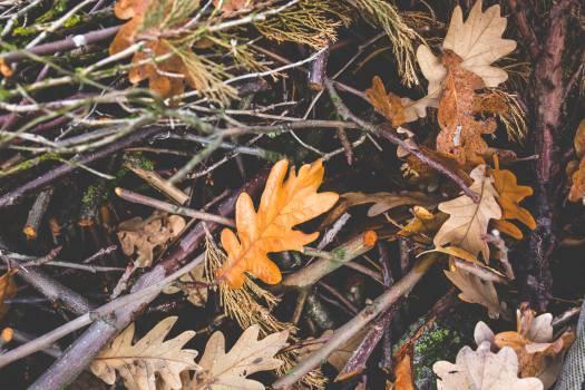 Maple Tree Oak #13768