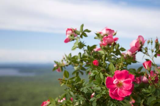 Pink Flower Blossom #13781