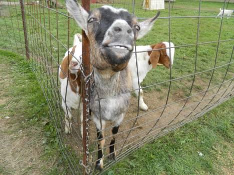 Cattle Cow Livestock Free Photo