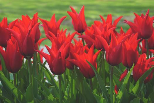 Tulip Tulips Spring Free Photo