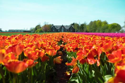 Tulip Tulips Spring #139379