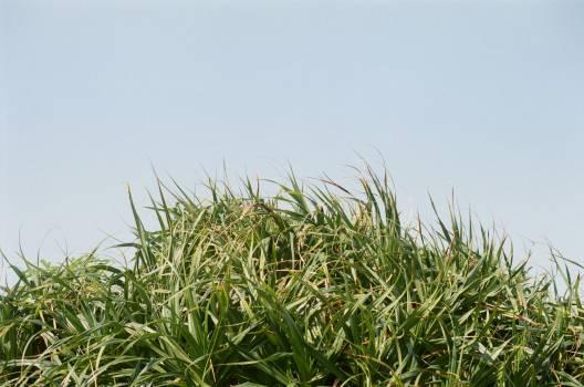Sugar Field Grass Free Photo