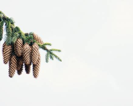 Pineapple Edible fruit Plant #139984
