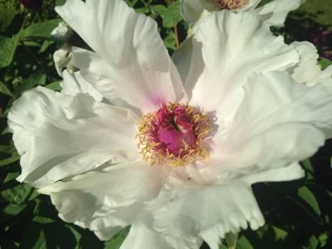 Rose Shrub Plant #140087
