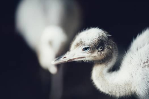 Bird Ostrich Ratite #140265