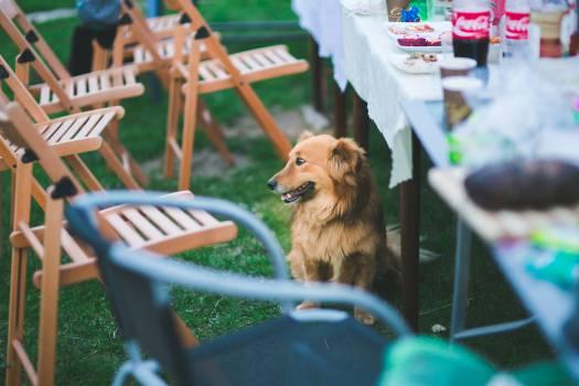 Dog Spitz Pomeranian #14036