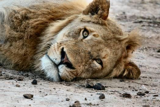 Predator Lion Big cat Free Photo