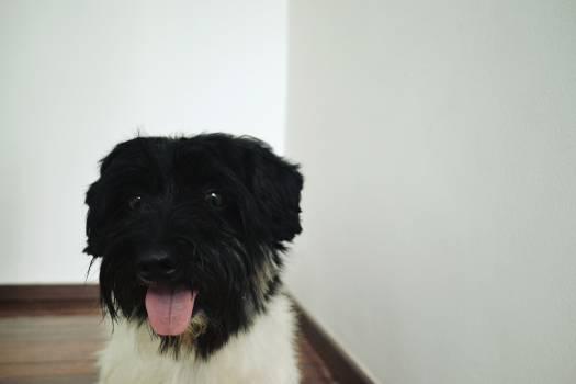 Terrier Dog Schnauzer #141222