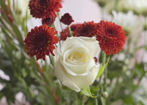 Rose Pink Flower #14125