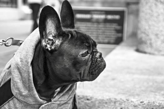 French bulldog Bulldog Dog #14139