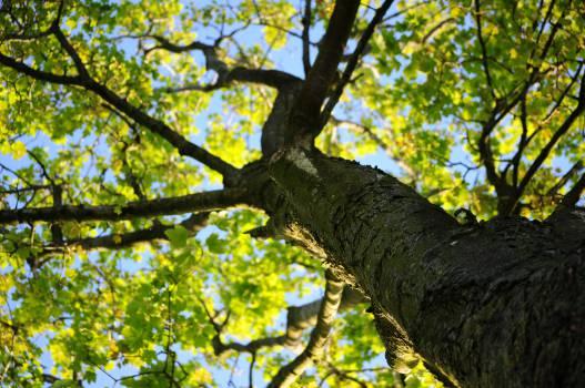Oak Tree Howler monkey #14156