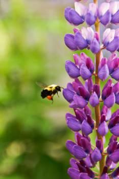 Purple Flower Violet #14161