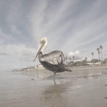 Pelican Aquatic bird Spoonbill Free Photo