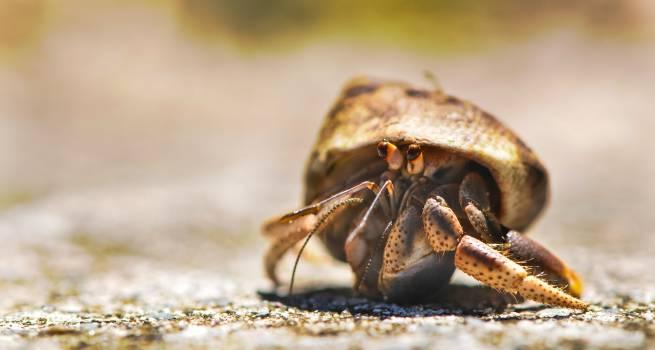 Crustacean Hermit crab Arthropod #14292