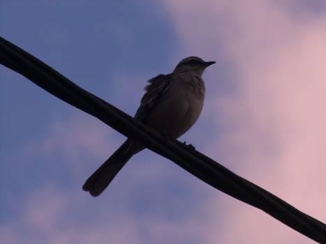 Bulbul Nightingale Thrush Free Photo