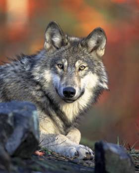 Wolf Timber wolf Canine #14319
