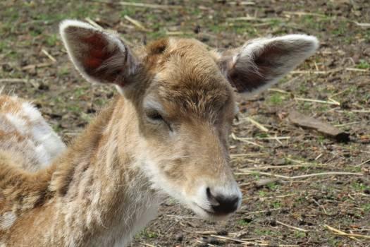 Calf Young mammal Animal Free Photo