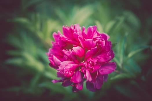Clover Pink Flower Free Photo