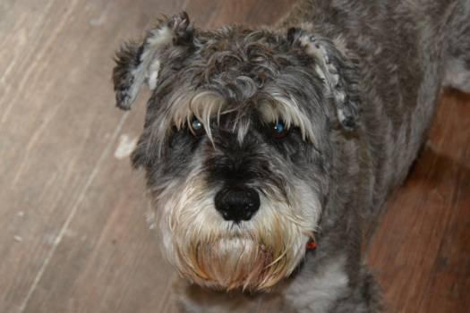 Schnauzer Miniature schnauzer Terrier #143321