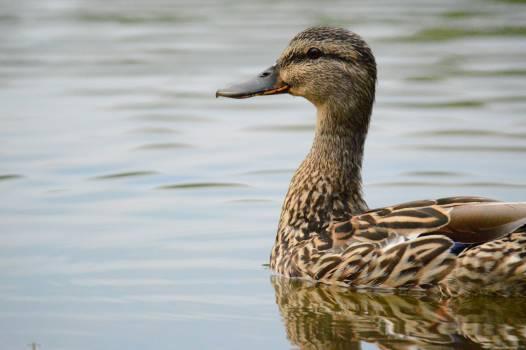 Goose Duck Waterfowl #14333