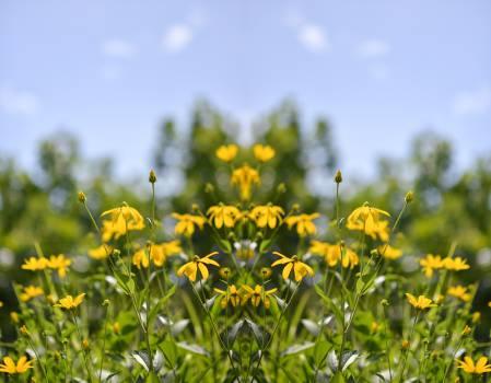 Rapeseed Oilseed Dandelion #14345