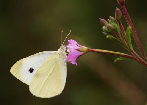 Cabbage butterfly Butterfly Pierid #14355