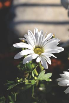 Daisy Flower Blossom #143674