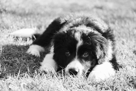 Border collie Shepherd dog Dog #143930