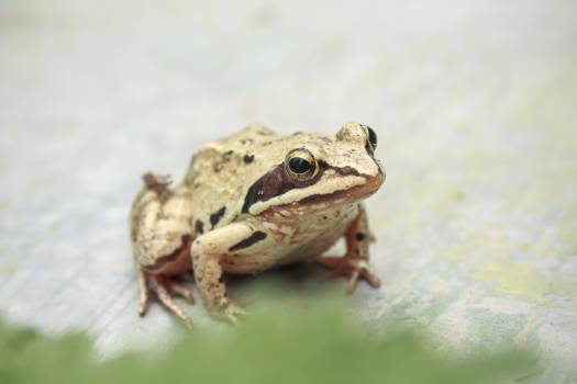 Amphibian Frog Tailed frog #144057