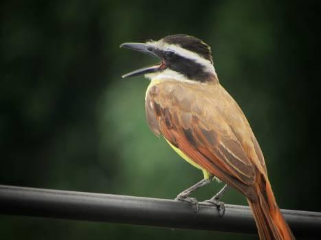 Bird Nightingale Thrush #144720
