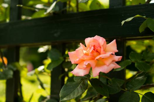 Flower Plant Rose #14474