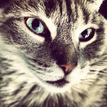 Cat Feline Tabby #14477