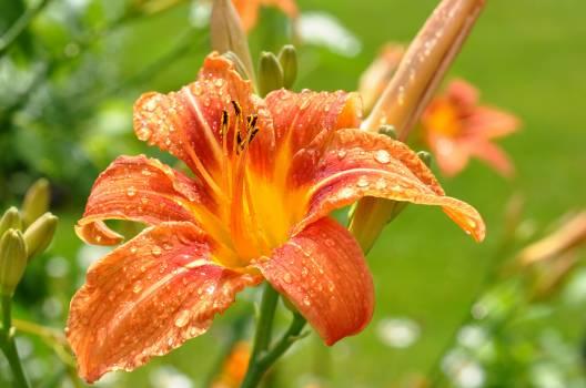 Orange Lily Flower #144850
